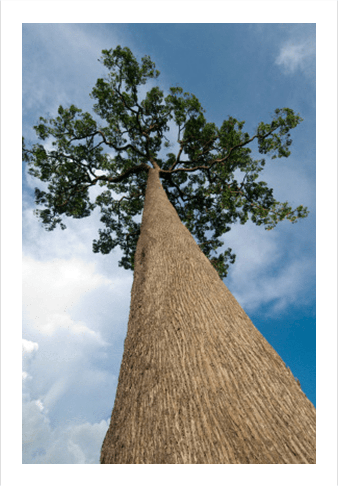 A tree in the Amazon Rainforest where our brazil nuts are grown