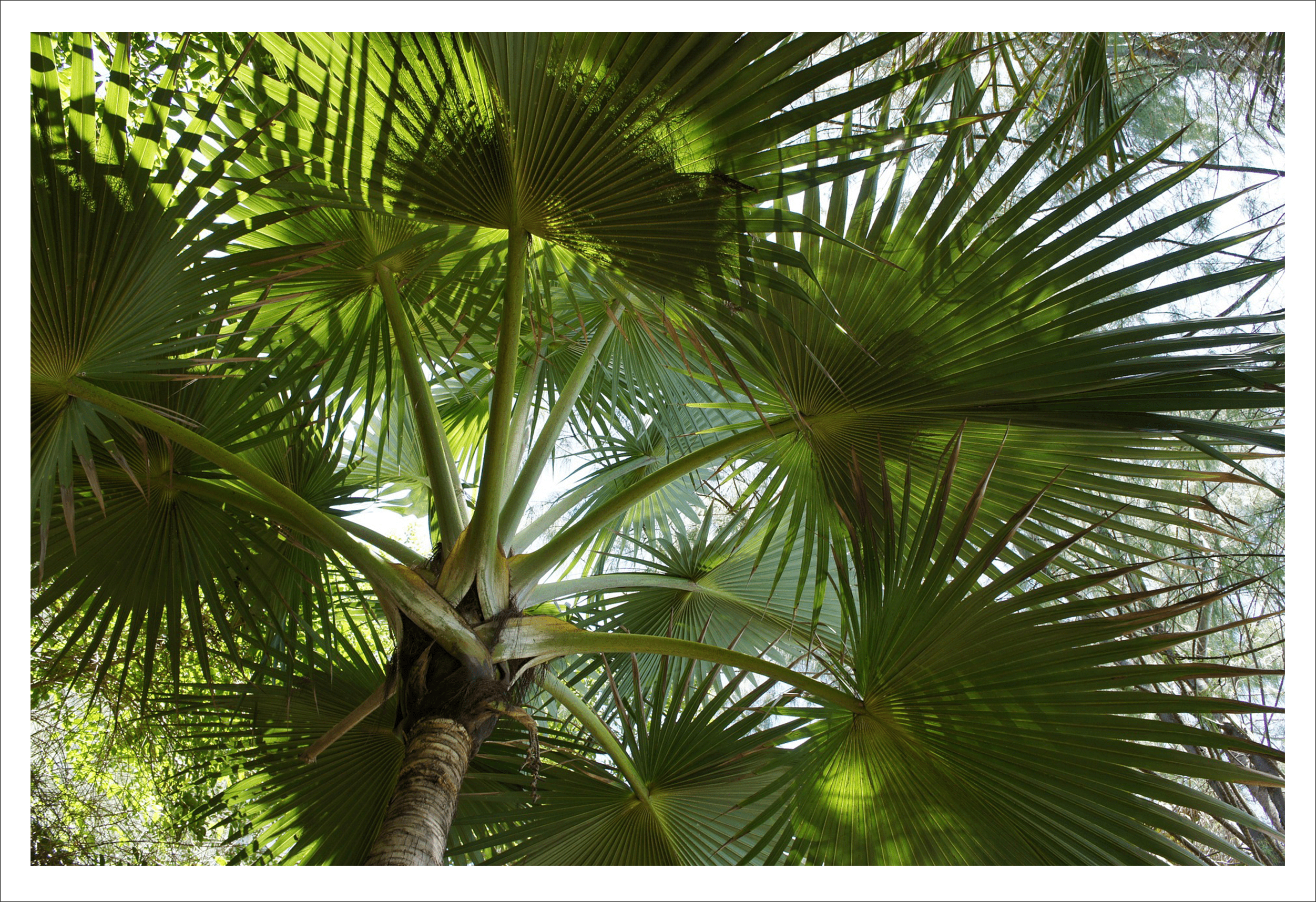 Palm tree fronds hiding our desiccated coconuts in Sri Lanka