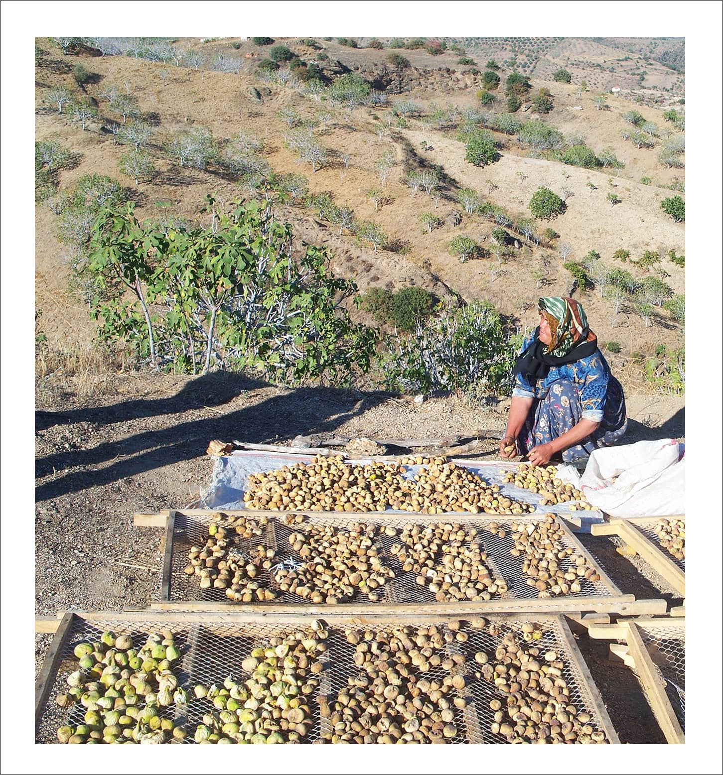 A farmer collects the figs before shaking off the soil