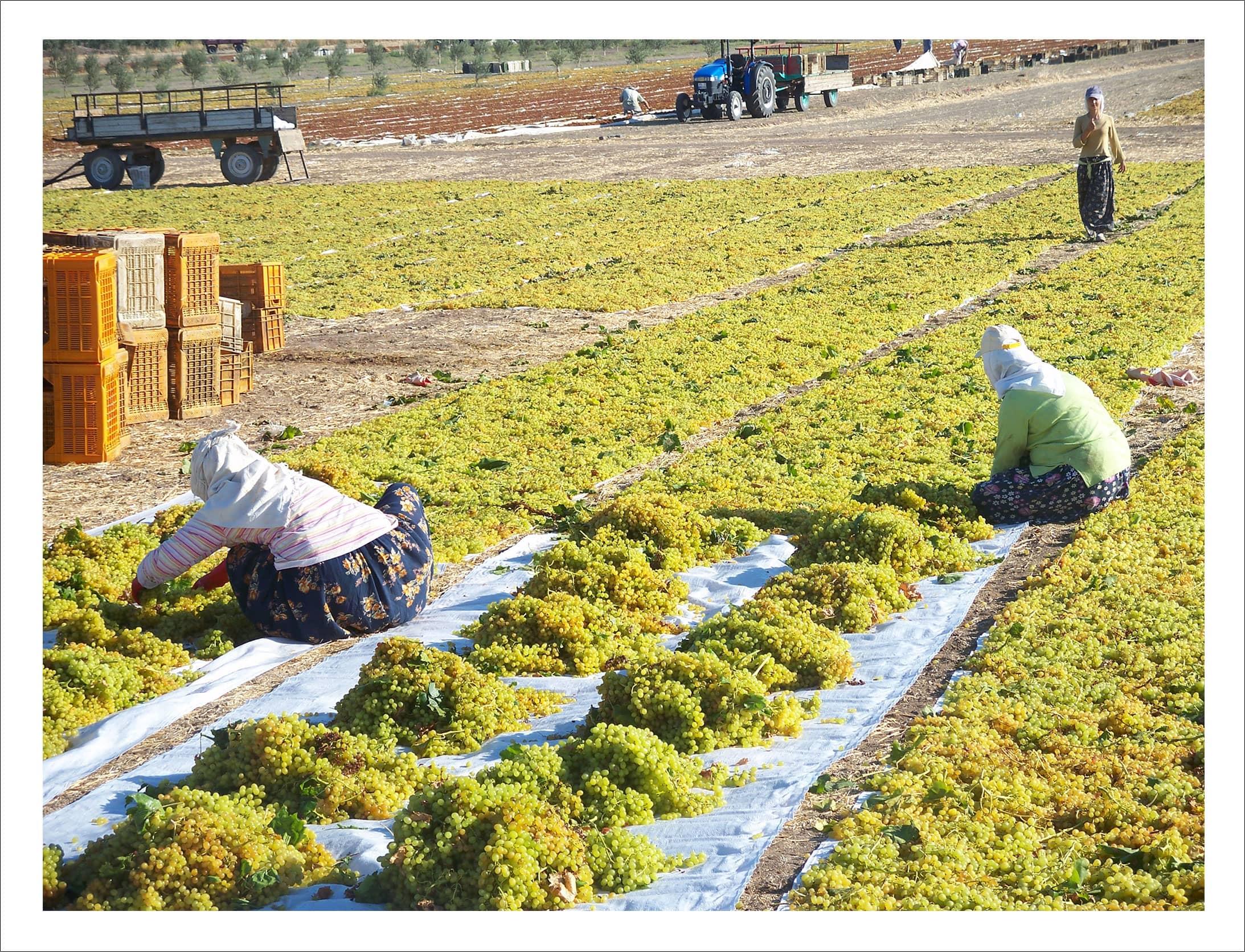 Farmers pick through the sultanas.