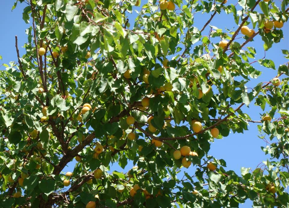 Organic Apricot Tree